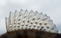 Dorsal fin of a walleye (pike-perch). Close-up Royalty Free Stock Photo