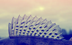 Dorsal fin of a walleye pike-perch, toned Royalty Free Stock Photography