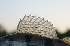 Dorsal fin of a walleye Royalty Free Stock Photos