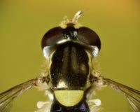 A dorsal macro of a tiny injured hoverfly Royalty Free Stock Photos