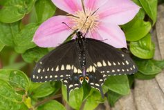 Beautiful Black Swallowtail butterfly on a Clematis flower. Dorsal view of a beautiful Black Swallowtail butterfly on a Clematis flower stock photos