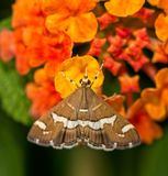 Dorsal view of a beautiful brown and white striped Hawaiian Beet Webworm Royalty Free Stock Photos