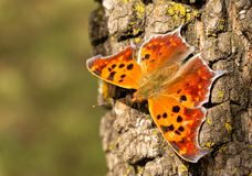 Dorsal view of a beautiful orange Question mark butterfly resting on a tree trunk. In autumn sun royalty free stock photo