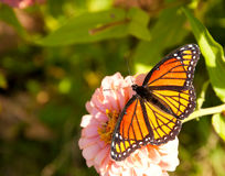 Dorsal view of a colorful Viceroy butterfl Stock Photos
