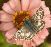 Dorsal view of a Common Checkered-Skipper Stock Photos