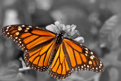 Dorsal view of a female Monarch butterfly Stock Images