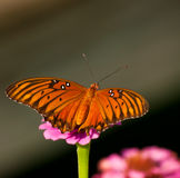 Dorsal view of a Gulf Fritillary Stock Photos