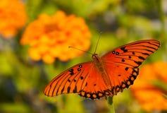 Dorsal view of a Gulf Fritillary butterfly stock photos