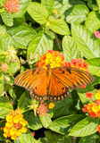 Dorsal view of a Gulf Fritillary butterfly feeding on a colorful Lantana flower Royalty Free Stock Photo