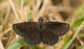 Dorsal view of a male Common Sootywing butterfly Royalty Free Stock Image