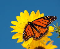 Dorsal view of a male Monarch butterfly. Feeding on a wild sunflower against deep blue sky royalty free stock image