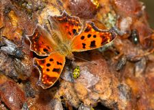 Free Dorsal View Of A Bright Orange Eastern Comma Butterfly Stock Photos - 137254733