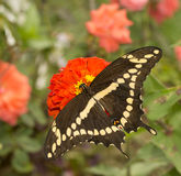 Dorsal view of papilio Cresphontes, Giant Swallowtail butterfly Royalty Free Stock Photo