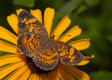 Dorsal view of a Pearl Crescent butterfly Royalty Free Stock Photography