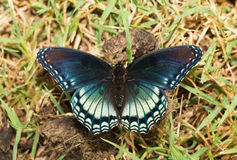 Dorsal view of Red-spotted Purple Admiral Royalty Free Stock Photography