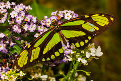 Scarce Bamboo Page Butterfly Stock Images