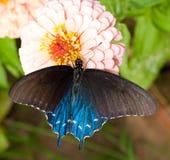 Dorsale mening van een Groene Swallowtail Royalty-vrije Stock Foto