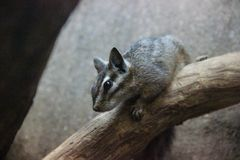 Dorsalis do Tamias do esquilo do penhasco imagem de stock