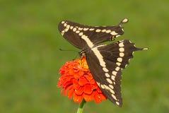 Dorsalny widok Gigantyczny Swallowtail motyl Zdjęcie Stock