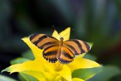 Dorsalny widok Skrzyknę Pomarańczowy Heliconian odpoczywa na żółtym bromeliad obraz royalty free