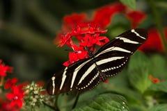 Zebra Longwing Zdjęcia Stock