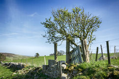 Dorset Countryside. A gnarled Hawthorn tree and drystone walling in near Dorchester in Dorset Stock Photo
