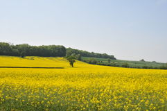 Dorset field of rapeseed 1. Fied of rapeseed near Dorchester Dorset May 2008 Stock Photo