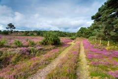 Dorset Heath. Heather in bloom on heathland at Arne near Wareham in the Dorset countryside Stock Photography