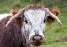 Dorset Longhorn Steer Stock Photography