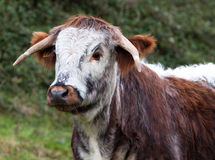 Dorset Longhorn Steer Royalty Free Stock Photo