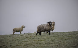Dorset and Mixed Breed Sheep Cross in Lamb. Spring, Cotswolds. UK Stock Photo