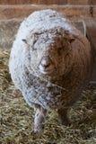 Dorset Sheep Body Shot Stock Photography
