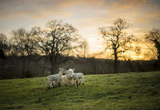 Dorset Sheep Cross with Lambs. Spring, Cotswolds. UK Stock Photos