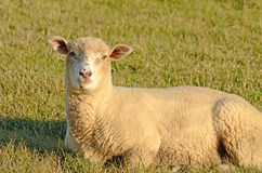 Dorset. Sheep ewes enjoying the winter sun in a pasture in Oregon royalty free stock image