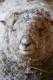 Dorset Sheep Portrait Royalty Free Stock Images