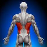 Dorsi de Latissimus - músculos da anatomia Fotografia de Stock