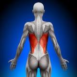 Dorsi di Latissimus - muscoli femminili di anatomia royalty illustrazione gratis