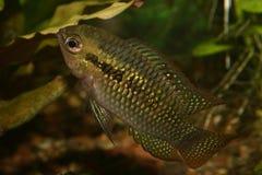 dorsigera cichlid ставит точки красный цвет laetacara Стоковое фото RF