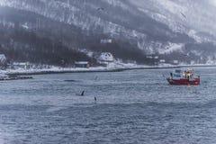 A dorso d'asino e orche Norvegia Fotografia Stock Libera da Diritti