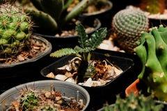Dorstenia crispa Suckulent på den plast- krukan Tolerant växt för torka royaltyfri bild