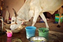 Dorstig koe drinkwater in een metaalemmer royalty-vrije stock foto
