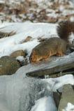Dorstige eekhoorn Royalty-vrije Stock Foto's