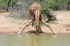 Dorstige giraf Stock Afbeeldingen