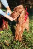 Dorstige hond Stock Foto