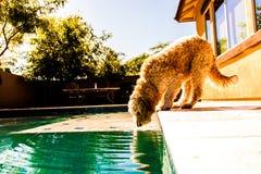 Dorstige hond Royalty-vrije Stock Foto's