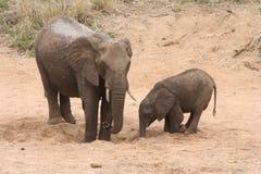 Dorstige olifanten Stock Foto's