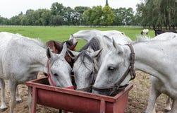 Dorstige paarden Royalty-vrije Stock Fotografie