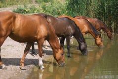 Dorstige paarden Stock Fotografie