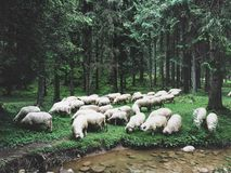 Dorstige schapen Royalty-vrije Stock Foto's