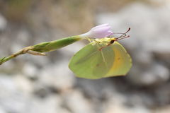 Dorstige Vlinder Stock Foto